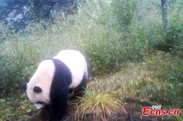 Infrared cameras at the Baishuijiang National Nature Reserve in Northwest China's Gansu province have captured photographs of a wild giant panda. [Photo provided by Baishuijiang National Nature Reserve]